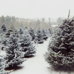 christmas-tree-farms- christmasgeek com