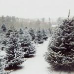 christmas-tree-farms- christmasgeek com