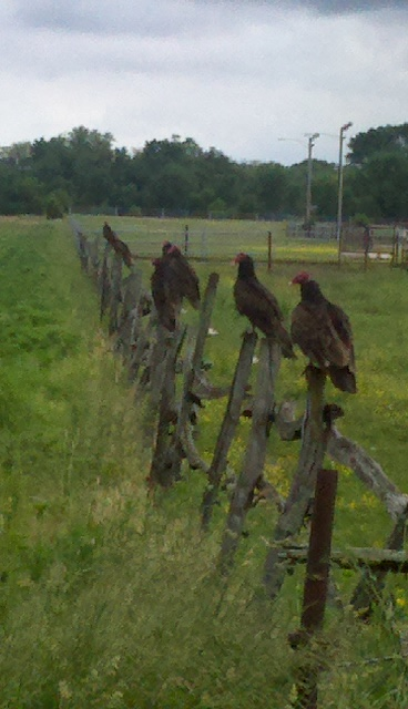 Seven little turkey vultures all in a row.