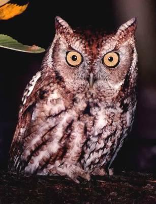 owl-eastern-screech