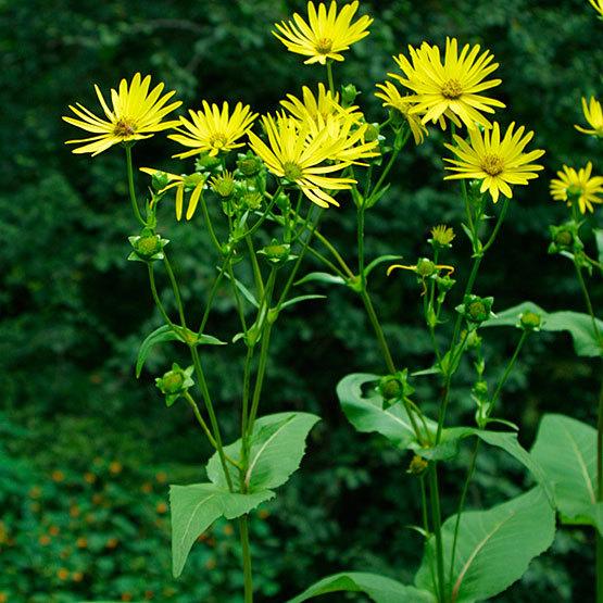 cup plant silphiumperfoliatum