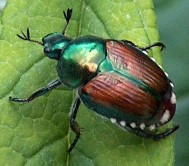 Japanese-Beetle-Picture
