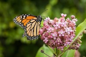 milkweed-plant-monarch-butterfly.jpg